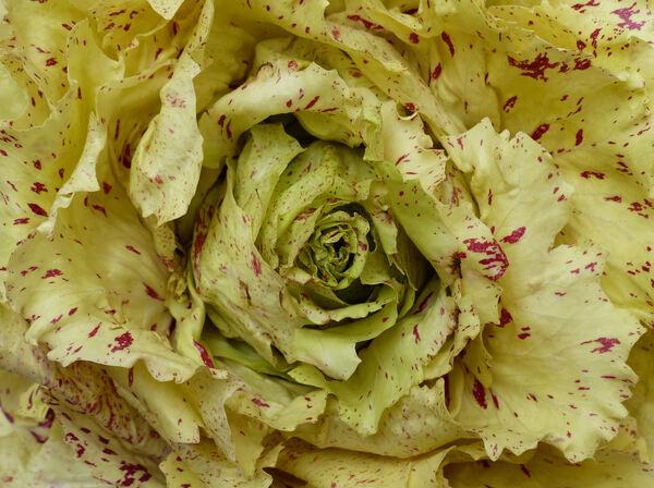 Cichorium intybus L. 'Variegato di Castelfranco'