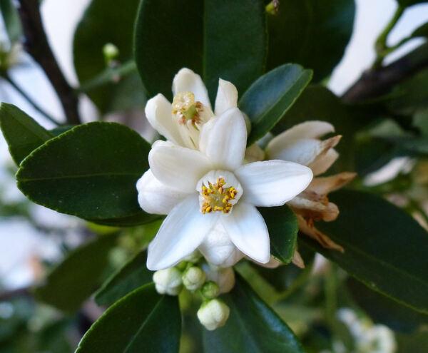 Citrus x limon (L.) Osbeck 'Limetta'