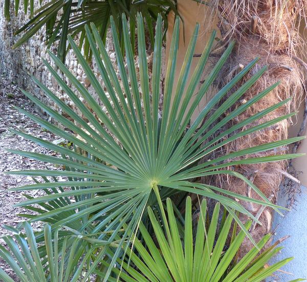 Trachycarpus fortunei (Hook.) H.Wendl.