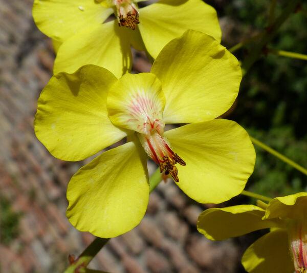 Cassia sp.