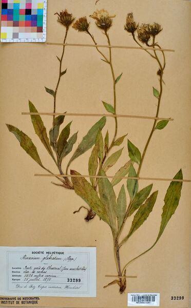 Hieracium glabratum Hoppe ex Willd.