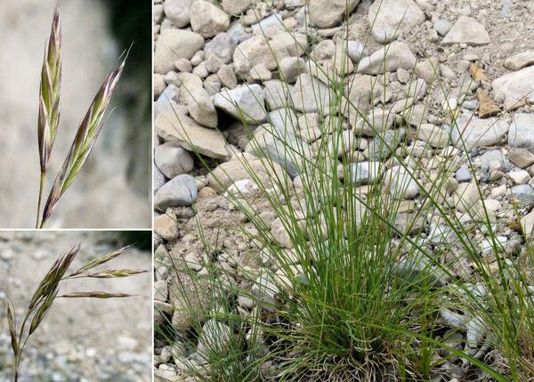 Bromopsis condensata (Hack.) Holub subsp. condensata