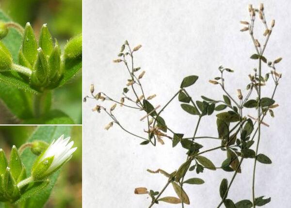 Cerastium lucorum (Schur) Möschl