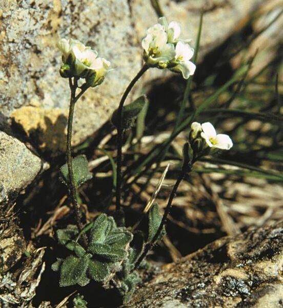 Draba tomentosa Clairv. subsp. tomentosa