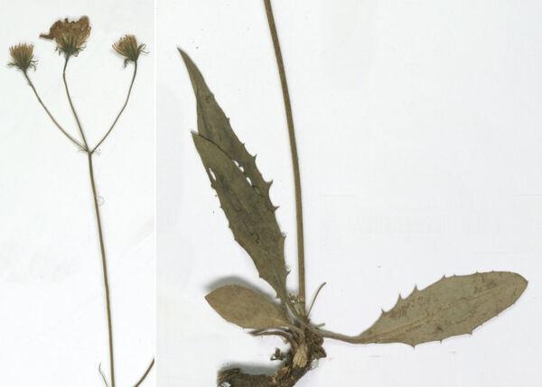 Hieracium oxyodon Fr.