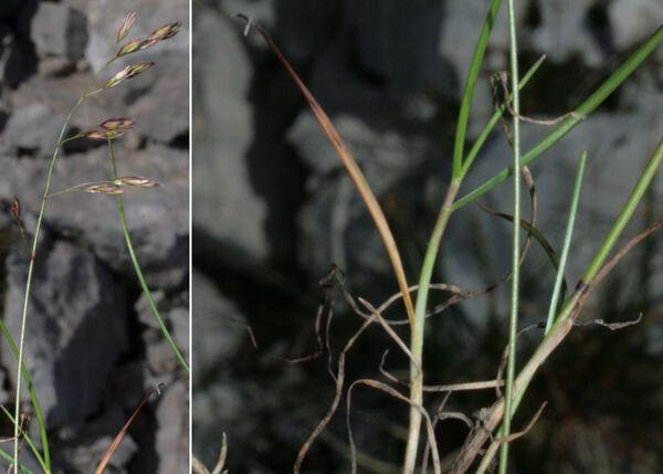 Leucopoa pulchella (Schrad.) H.Scholz & Foggi subsp. jurana (Gren.) H.Scholz & Foggi
