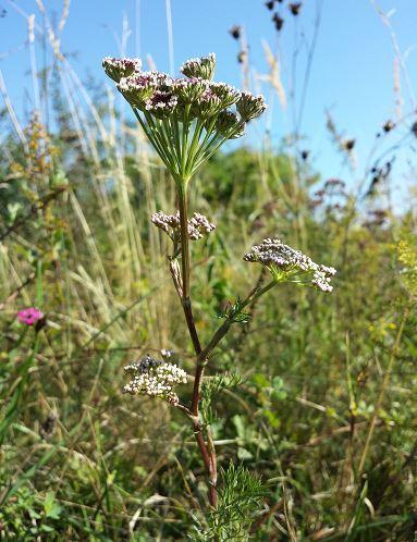 Seseli annuum L. subsp. annuum