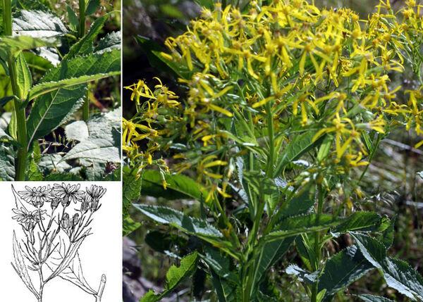Senecio hercynicus Herborg subsp. hercynicus