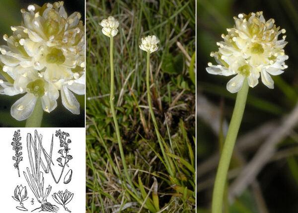 Tofieldia pusilla (Michx.) Pers.