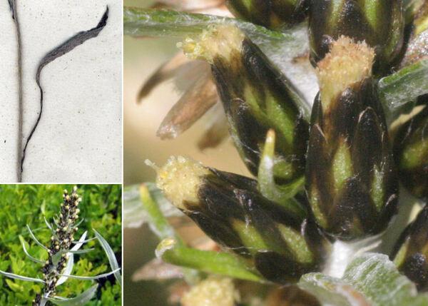 Omalotheca norvegica (Gunnerus) Sch.Bip. & F.W.Schultz