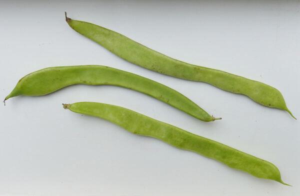 Phaseolus vulgaris L. 'Piattoni Medi'