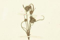 Cyperus hamulosus M.Bieb.