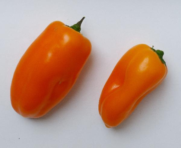 Capsicum annuum L. 'Snack Orange'