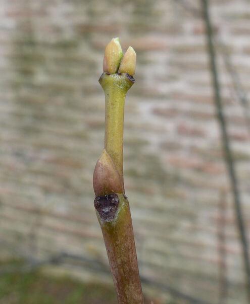 Staphylea emodii Wall.