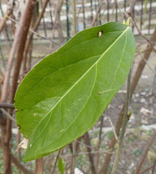 Chimonanthus praecox (L.) Link 'Parviflorus'
