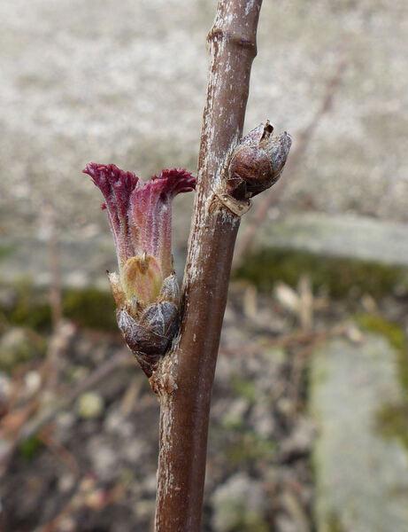 Ribes spicatum E.Robson subsp. spicatum
