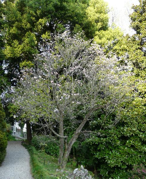 Cornus florida L. 'Rubra'