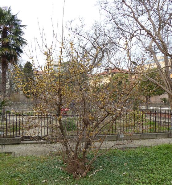 Chimonanthus praecox (L.) Link 'Grandiflorus'
