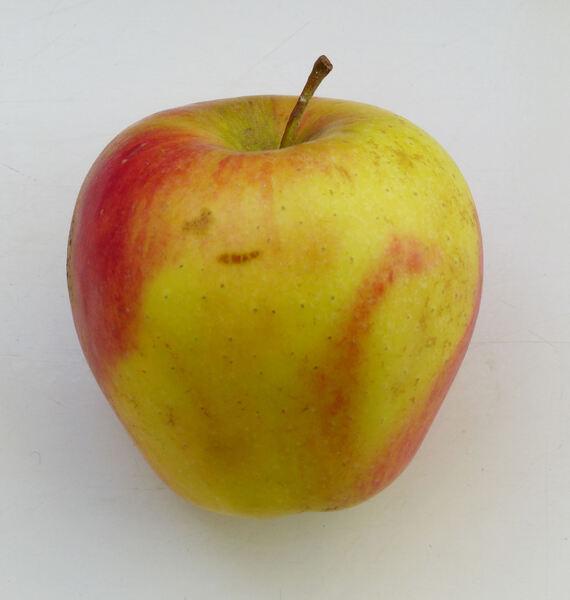 Malus domestica (Borkh.) Borkh. 'Pinova'