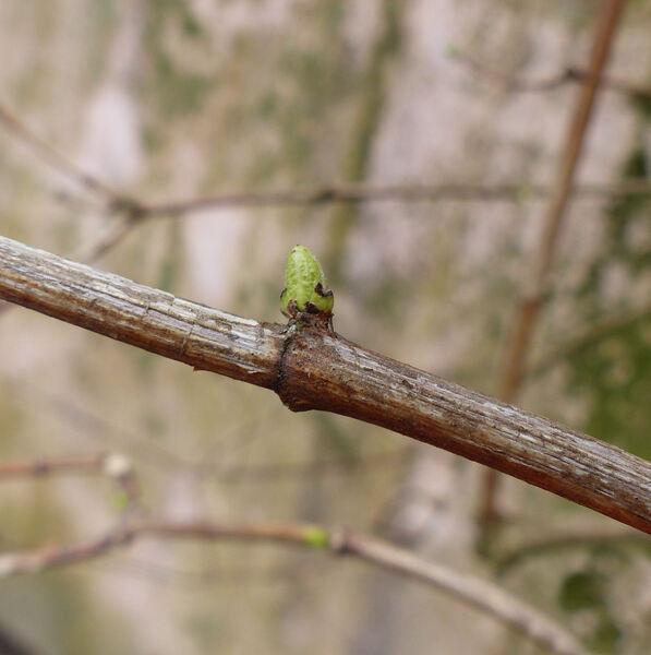 Philadelphus coronarius L.