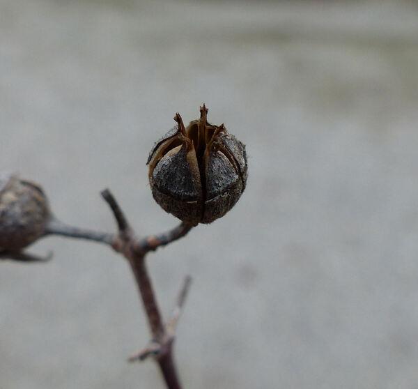 Philadelphus x virginalis Rehder 'Burfordiensis'