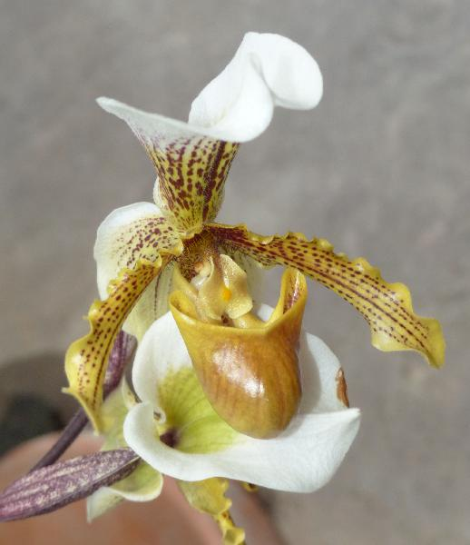 Cypripedium x albertianum Hye