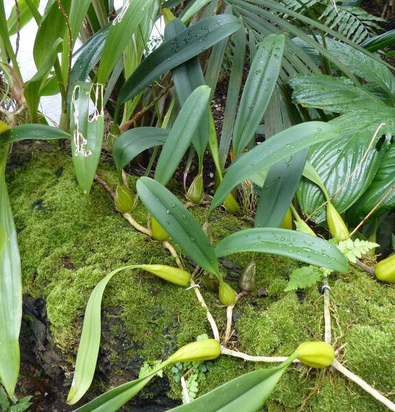 Bulbophyllum wendlandianum (Kraenzl) Dammer