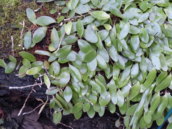 Pyrrosia abbreviata (Zoll. & Moritzi) Hovenkamp