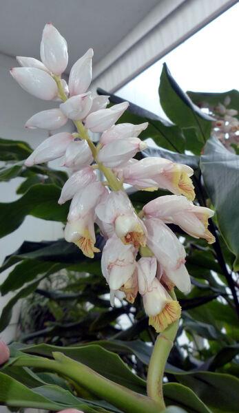 Alpinia zerumbet (Pers.) B. L. Burtt & R. M. Sm.