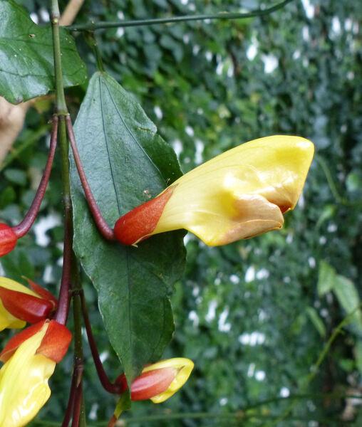 Thunbergia mysorensis (Wight) T.Anderson ex Bedd.