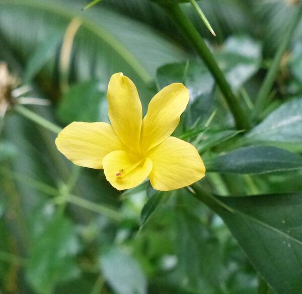 Barleria prionitis L.