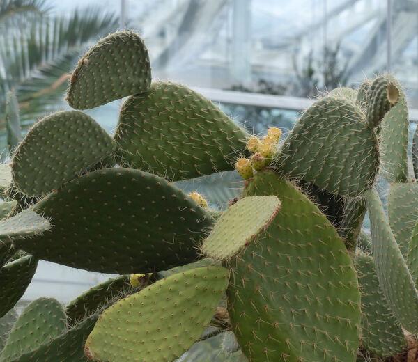 Opuntia crinifera Salm-Dyck ex Pfeiff.