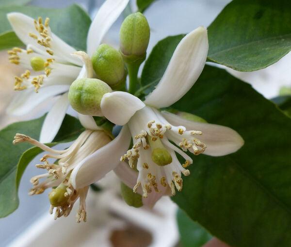 Citrus x limon (L.) Osbeck 'Pompia'