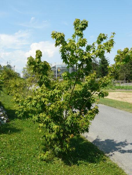 Acer oliverianum Pax