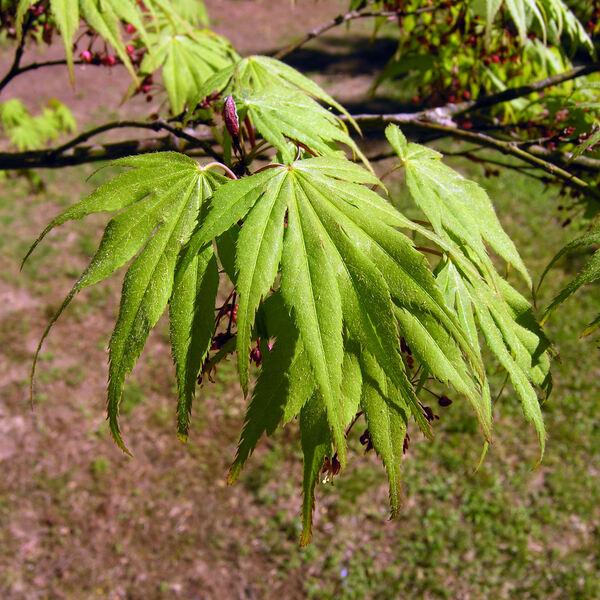 Acer palmatum Thunb. ex Murray 'Autumn Red'