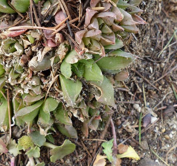 Haworthia aristata Haw.