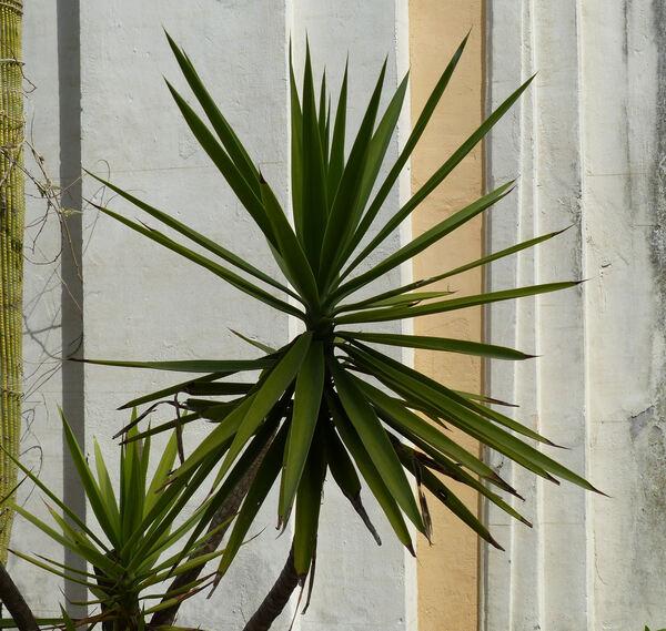 Yucca gigantea Lem.