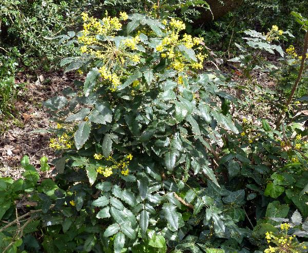 Mahonia bealei (Fortune) Carrière