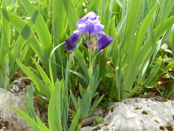 Iris setina Colas.