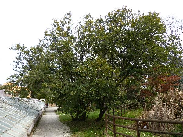 Lonchocarpus guillemineanus (Tul.) Malme