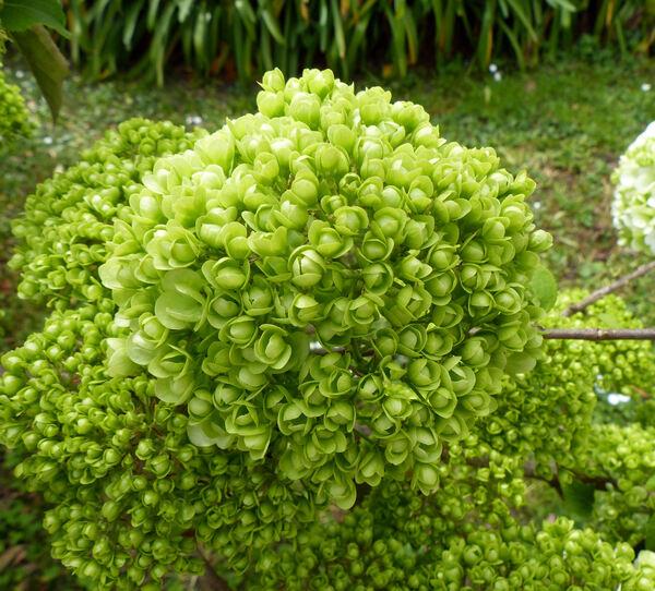 Viburnum macrocephalum Fortune