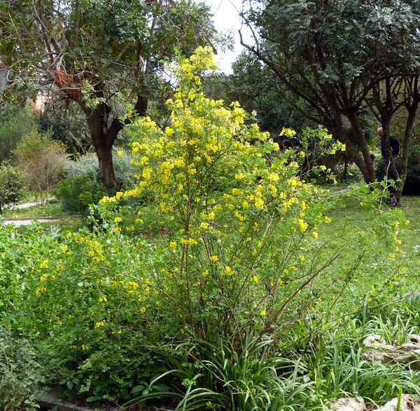 Emerus major Mill. subsp. major