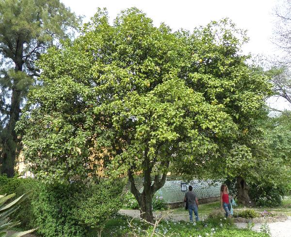 Citrus maxima (Burm. f.) Merr.