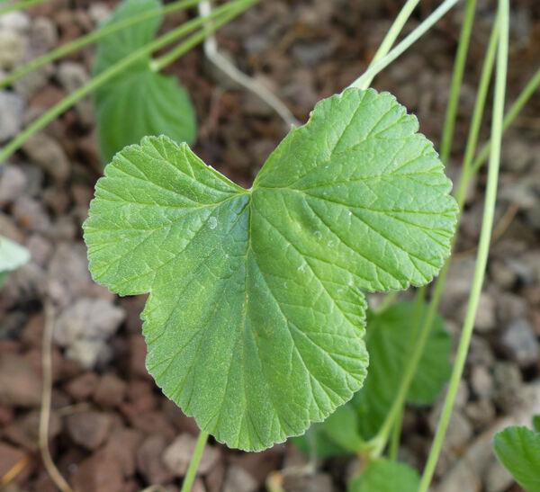 Pelargonium mollicomum Fourc.