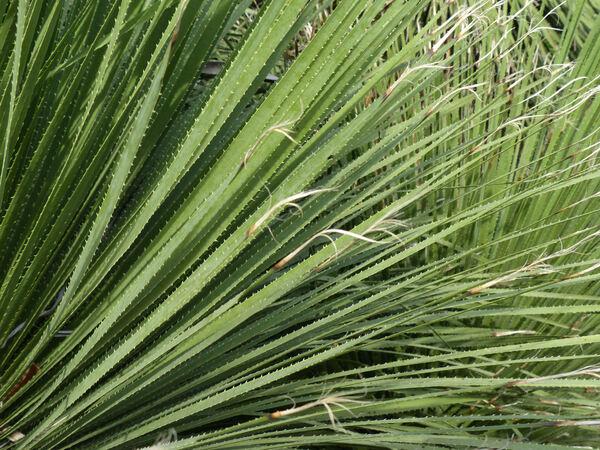 Dasylirion acrotrichum Zucc.