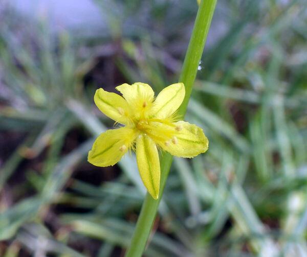 Bulbine frutescens (L.) Willd.