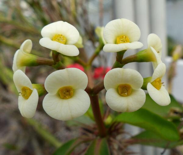 Euphorbia milii Desmoul. 'lutea'