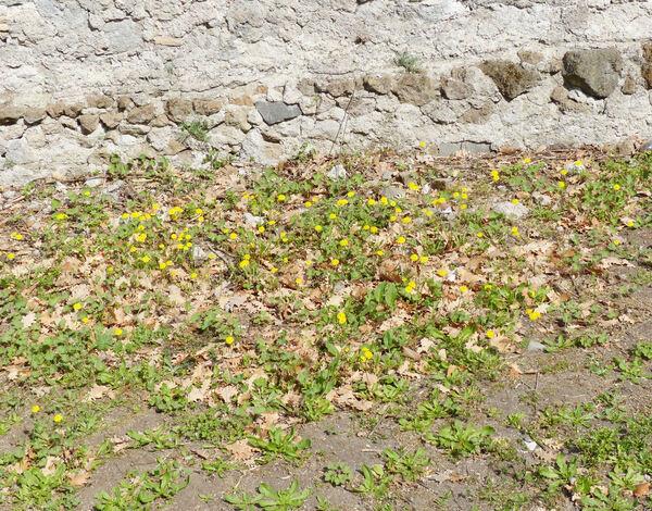 Crepis sancta (L.) Bornm. subsp. nemausensis (P.Fourn.) Babc.