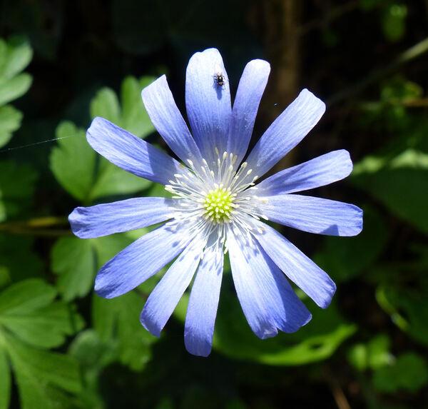 Anemone apennina L.