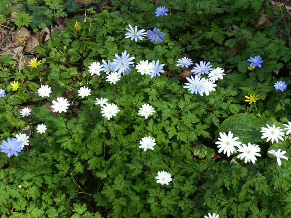 Anemone apennina L. 'Albiflora'